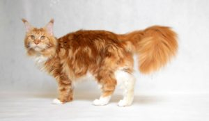 rudy maine coon